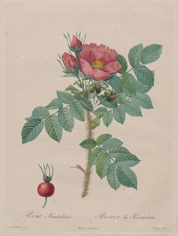 Chapuy, after Pierre- Joseph Redoute - Kamtschatka Rose (Rosa Kamtschatica), from Redoute,
