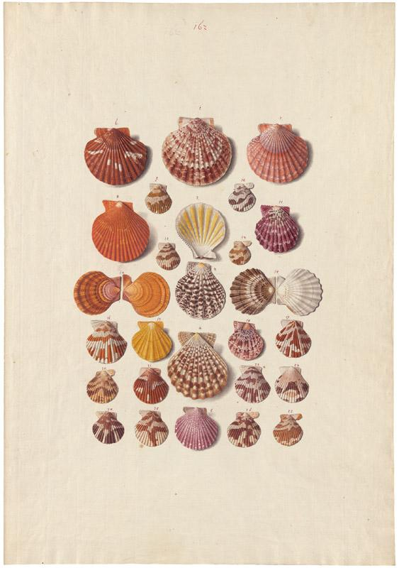 Franz Anton von Scheidel - Collection of 200 folios with depictions of seashells and molluscs, c.