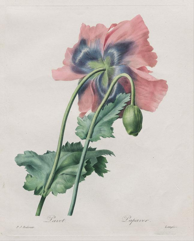 Langlois, after Pierre- Joseph Redoute- Poppy (Papaver), from Redoute