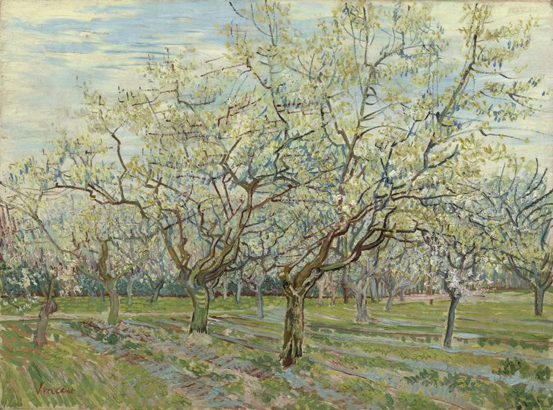 Orchard with Blossoming Apricot Trees2